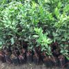 Giống cây chanh không hạt