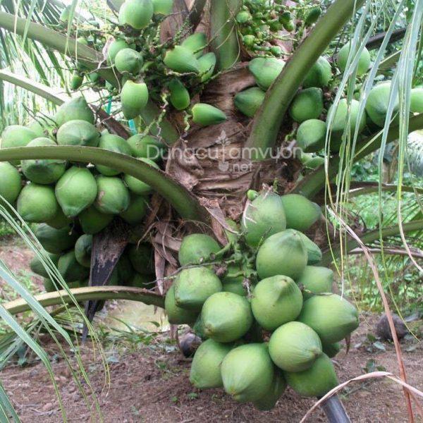 Giống cây dừa xiêm lùn