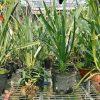 Hoa lan kiếm vàng mít thái