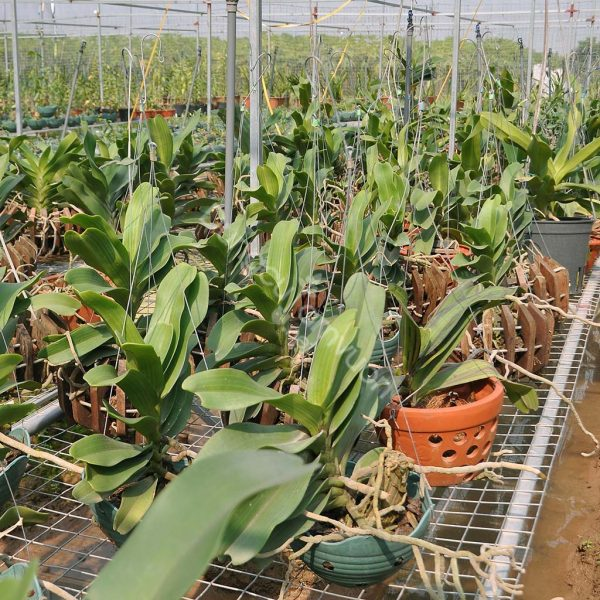 Hoa lan đai trầu lá xếp