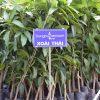 Giống cây xoài thái lan